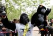 Charity event competitor Tom Harrison poses for photographers at the London Marathon finish line on the Mall, dressed in a gorilla outfit to raise money for the Gorilla Foundation, in London April 29, 2017.  REUTERS/Peter Nicholls